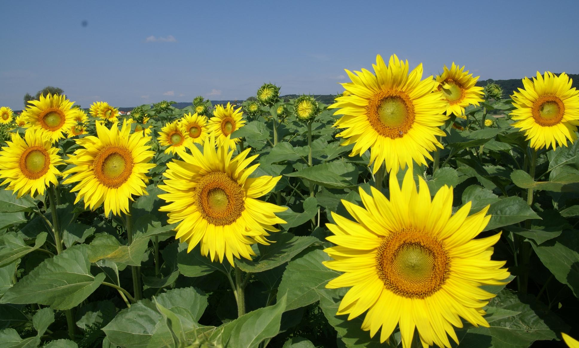 Afbeelding zonnebloem bloemen nederland - Afbeelding in ...