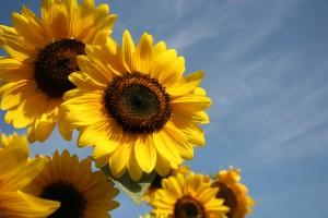 Zonnebloemen mooi