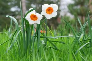 oranje witte narcis